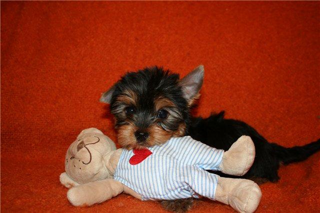 Фотографии вязаная одежда для собак, одежда для карманных собак: йорк(й